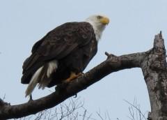 One eagle